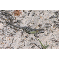 Spanischer_Sandläufer.jpg (Artengalerie)