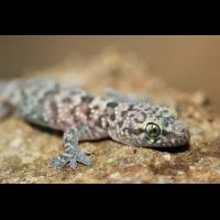 gecko_01_375.jpg (Artengalerie)