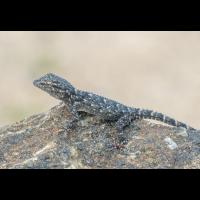 _gecko2_135.jpg (Artengalerie)