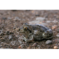 Pelobates_fuscus.jpg (Artengalerie)