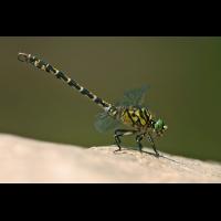Onychogomphus forcipatus_m_IMG_0569b.jpg (Artengalerie)
