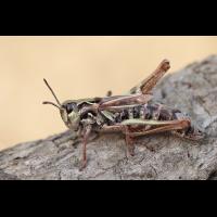 Aeropedellus variegatus Weibchen.jpg (Artengalerie)