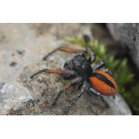 Philaeus-chrysops-mittel-01.jpg (Artengalerie)