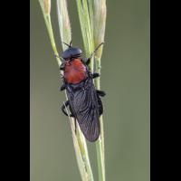 Clitellaria-ephippium-1-Fo.jpg (Artengalerie)