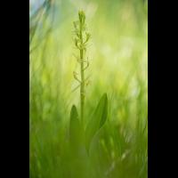 liparis5.jpg (Artengalerie)