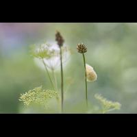 DSC02136 Kokon in der Wiese... kl 29.07.17.jpg (Artengalerie)