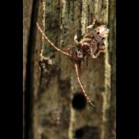 Pogonocherus hispidus05mamkro.jpg (Artengalerie)