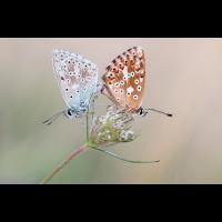 himmelblauer Bläuling Kopie.jpg (Artengalerie)