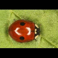 Adalia bipunctata 2.jpg (Artengalerie)