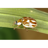 Myzia oblongoguttata 1.jpg (Artengalerie)