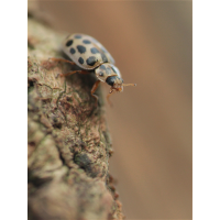 Anisosticta novemdecimpunctata03.jpg (Artengalerie)