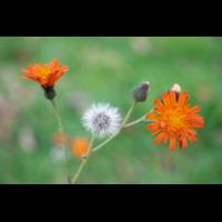 PA170411-1 - orangerotes Habichtskraut Blüte.jpg (Artengalerie)