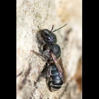 Osmia_caerulescens-f.jpg (Artengalerie)