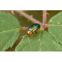 käfer_27-2.jpg (Artengalerie)