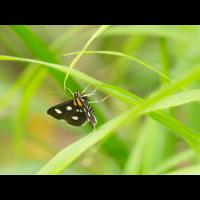 Anania funebris-OG302027---Kopie.jpg (Artengalerie)