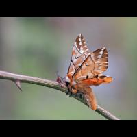 Endromis-versicolora-zoog37951_24---Kopie.jpg (Artengalerie)