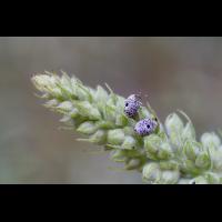 Garten Blattschaber.jpg (Artengalerie)
