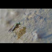 Grüne Langbeinfliege, weiblich.jpg (Artengalerie)