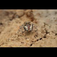 Attulus-distinguendus  Silbergras-Sandhockling.jpg (Artengalerie)