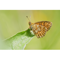 Boloria-eunomia1-zoog98874_6S---Kopie.jpg (Artengalerie)