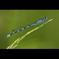 Coenagrion ornatum_m_IMG_2132_1200.jpg (Artengalerie)