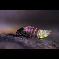 Lampyris-noctiluca-Glühwürmchen-zogg32371_8---Kopie.jpg (Artengalerie)