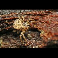 6 Ozyptilia-praticola cf-Wald-Zwergkrabbenspinne -cf-web.jpg (Artengalerie)