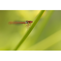 Frontale.jpg (Artengalerie)