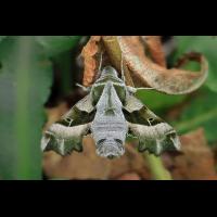 Nachtkerzenschwärmer 1.jpg (Artengalerie)