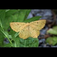 07665-Angerona-prunaria-Schlehenspanner.jpg (Artengalerie)