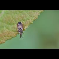 Aradus depressus.jpg (Artengalerie)