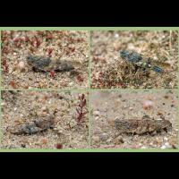 4 Sandschrecken-web.jpg (Artengalerie)