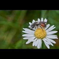 Andrena labiata.jpg (Artengalerie)