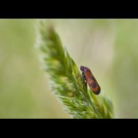 Zikade 1.jpg (Artengalerie)
