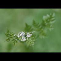 Kerbel.jpg (Artengalerie)