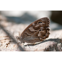 Hipparchia_fidia_AG.jpg (Artengalerie)