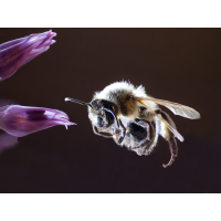 2017-05-14_Biene-mit-Blüte-(Comprimiert).jpg (Makronix)