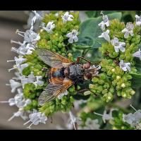 Wildbiene-1-().jpg (Makronix)