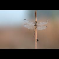 Libelle und Fliege.jpg (gebut)