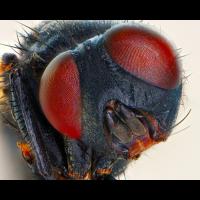 Fliege Porträt.jpg (Sasscha)