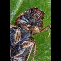 Chilothorax melanostictus 120.jpg (Sasscha)