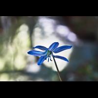 Sibirischer Blaustern.jpg (Il-as)