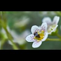 Bibernellen-Blütenkäfer.jpg (Il-as)