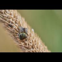Gibbaranea gibbosa 1.jpg (Il-as)