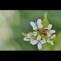 Nemophora metallica.jpg (Il-as)