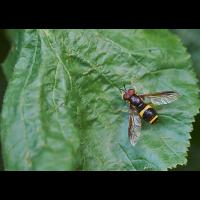 Zweiband-Wespenschwebfliege.jpg (Il-as)