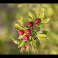 Strauch mit roten Beeren.jpg (Welpe)