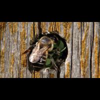 Blattschneiderbiene.jpg (Manfred)