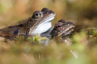 Gefährdung der Amphibien durch Infektionen
