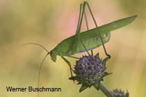 Sichelschrecken - Phaneropteridae